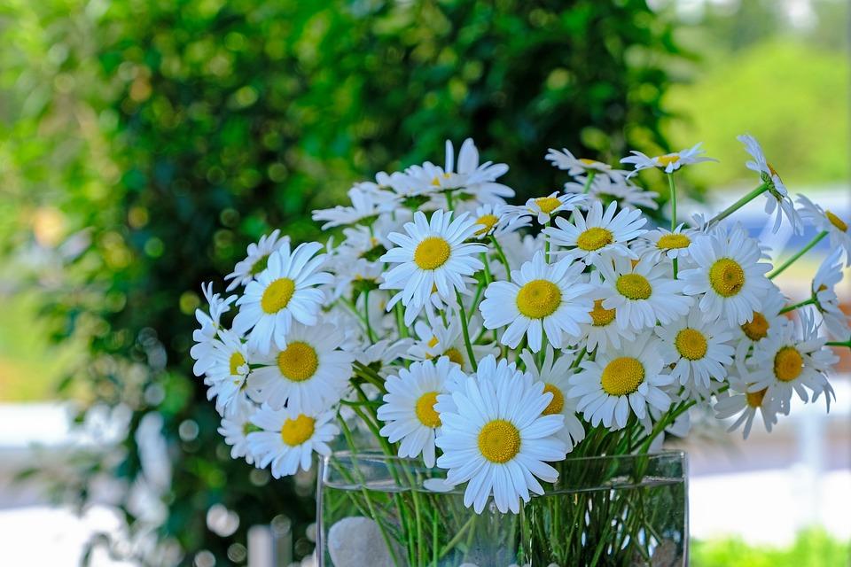 https://cdn.pixabay.com/photo/2019/06/04/10/53/daisies-4251179_960_720.jpg