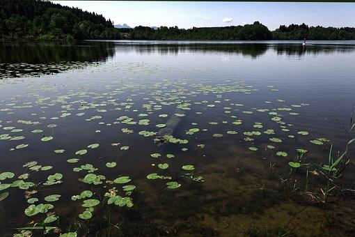 Lily Pad, Aquatic Plant, Water, Lake