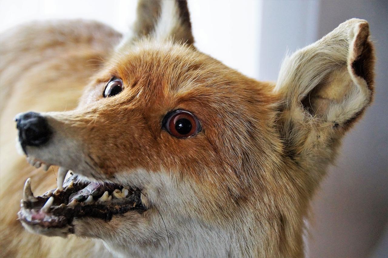 Волжанин украл чучело лисы из гостиницы