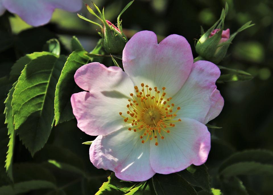 Wild Rose, Rosa, Rose, L'Odore Di, Bush, I Petali