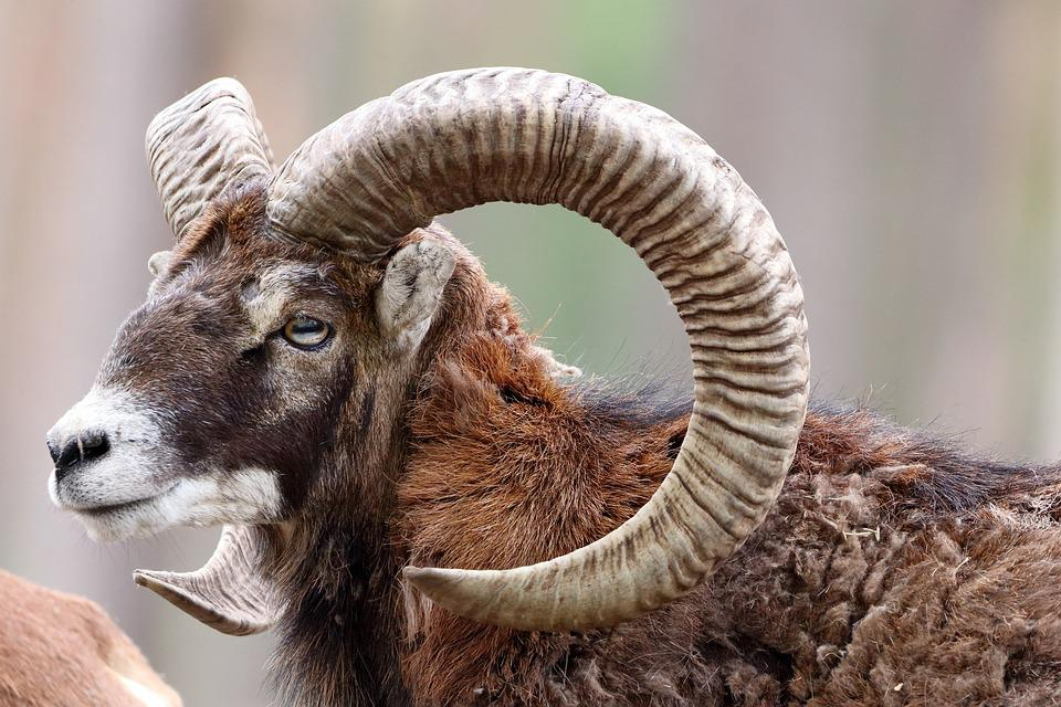 Ram steenbok en Astrologie voor