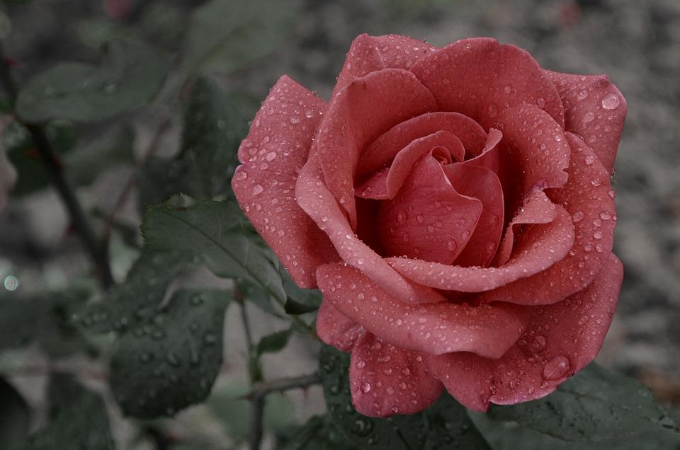 Rose Éternelle Humide