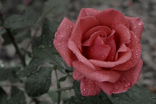 Flower, Rose, Rain, Raindrop, Blooms At