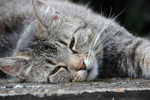 Kucing, Abu-Abu Tiger, Kesayangan