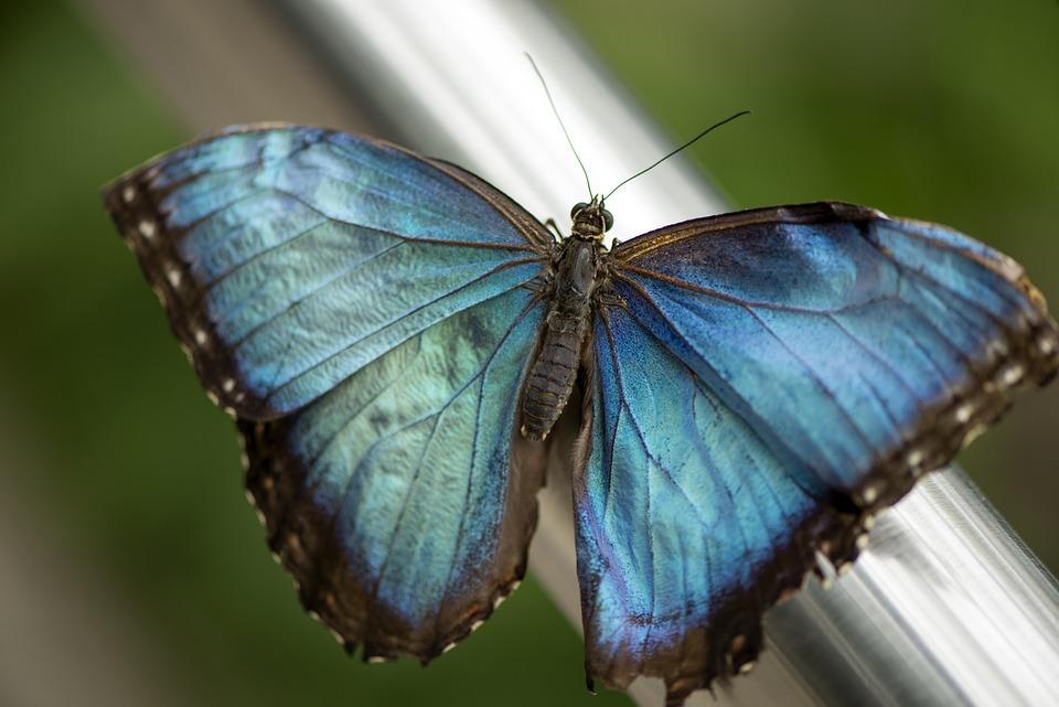 Farfalla, Blu, Morfo, Insetto, Natura, Ala