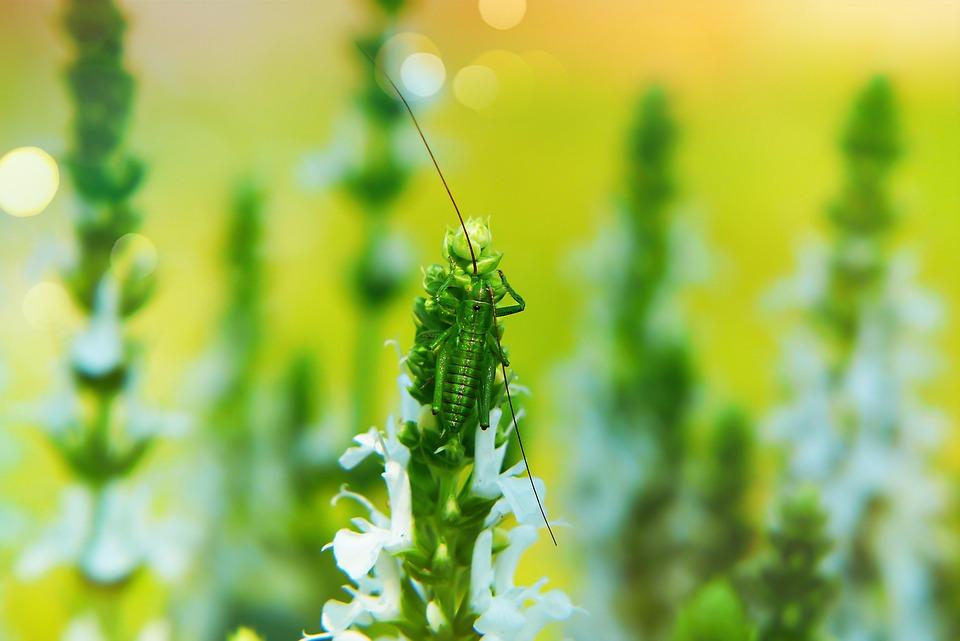 Heuschrecke Grün, Jung, Tom, Insekt, Antennen, Blumen