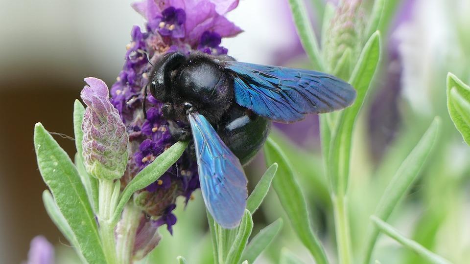 Lavendel, Holzbiene, Natur, Nahaufnahme, Insekt, Biene
