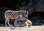 zebra, ssak, zwierząt