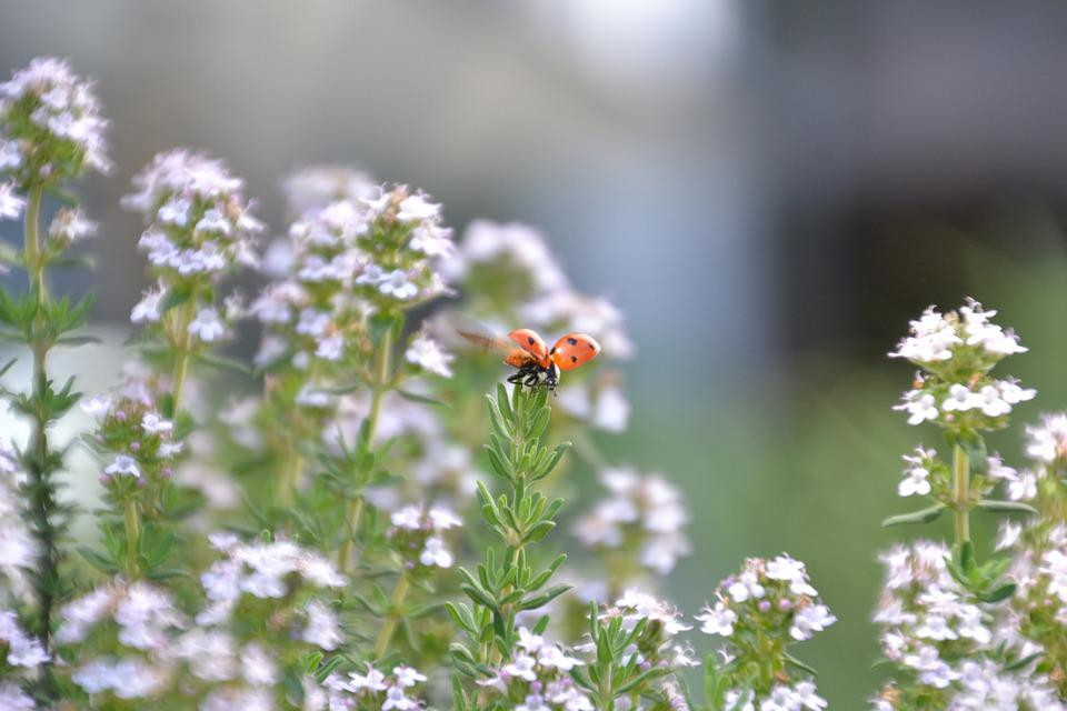 Ladybug, Wing, Insect, Red, Black, Points, Thyme