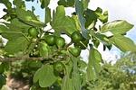 figi, figi owoc, krzew