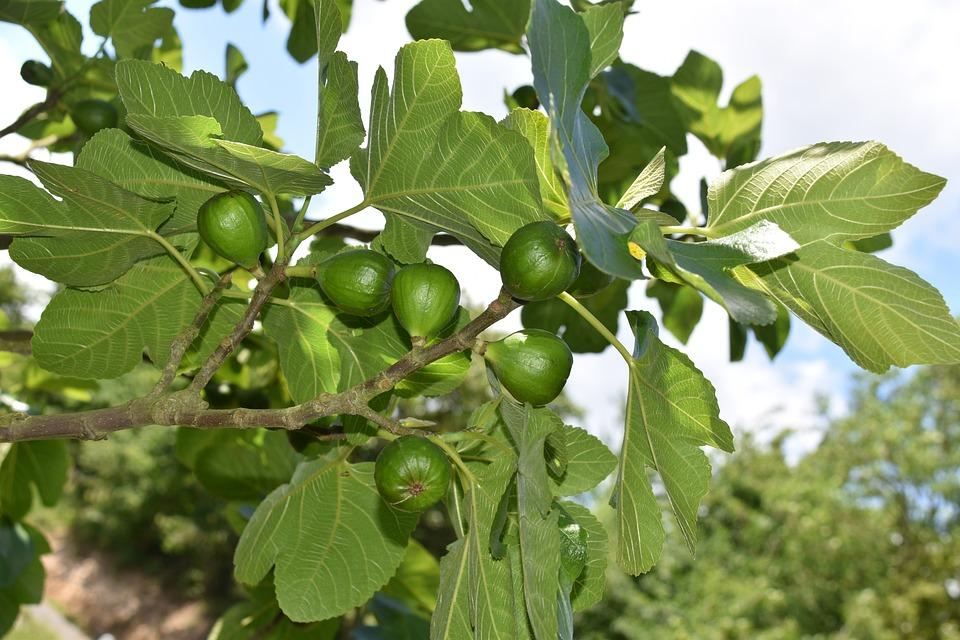 Figs, Fig Fruit, Shrub, Fruit Tree, Fig Leaves, Fruit