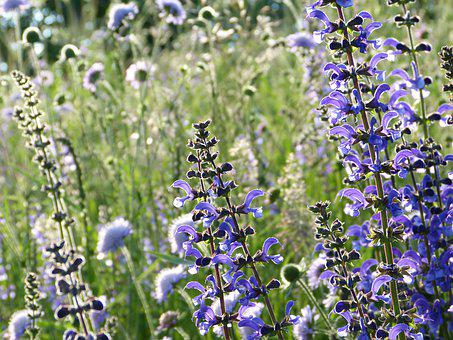 Salvia, Sauge Sauvage, Bloom, Prairie