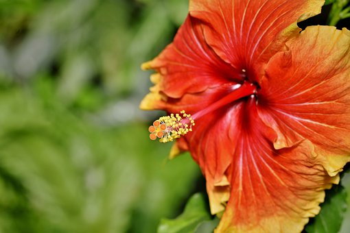 1000 Free Hibiscus Flower Hibiscus Images Pixabay