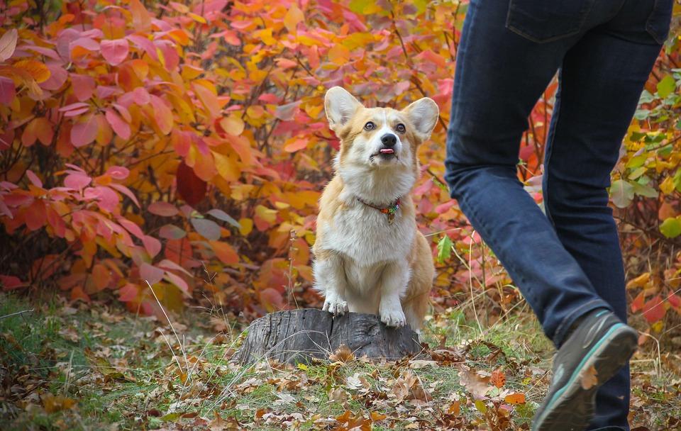 Corgi, Perro, Hojas De Otoño, Mascota, Animales, Lindo