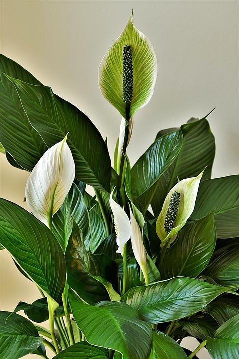 Peace Lilies, Ornamental Plants, Flower Flask