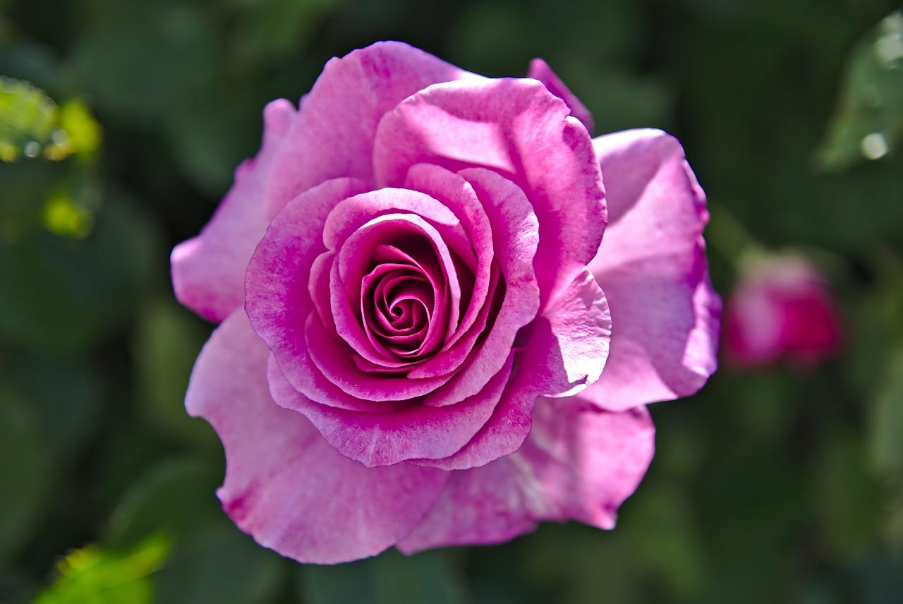 Розы фото цветов и названия как холодильное