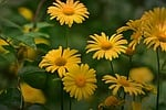 babki endywia leopard-zmora, kwiat, roślin