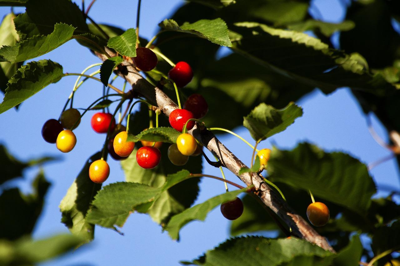 дикая вишня картинка дерева