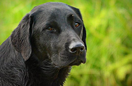 Labrador Foto's - Download gratis afbeeldingen - Pixabay