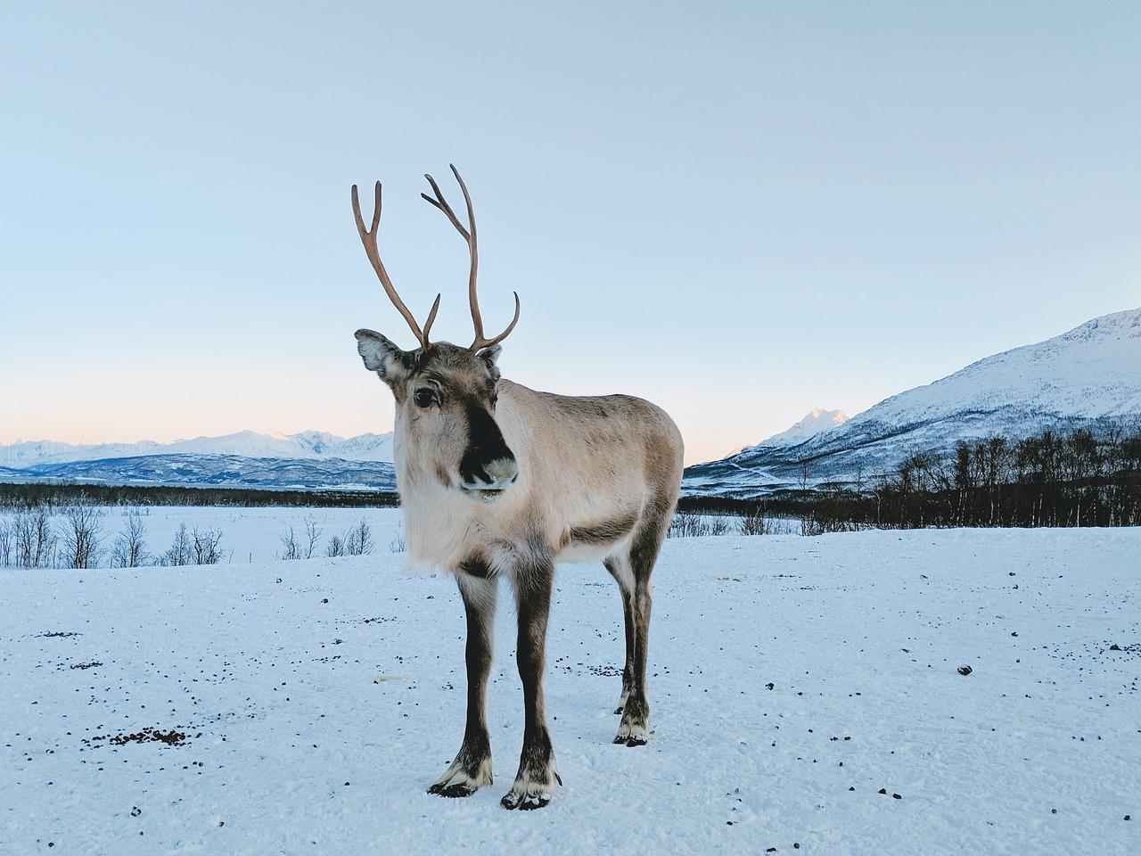 природе картинки полярного оленя иногда корневую систему