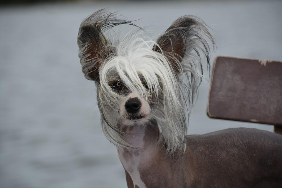 Chien, Chinese Crested, Chien Nu, Animal De Compagnie