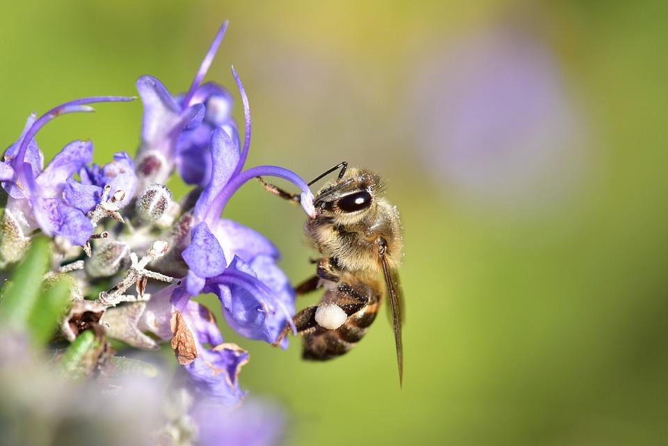 Bee, Honeybee, Pollen, Pollination, Nature, Garden