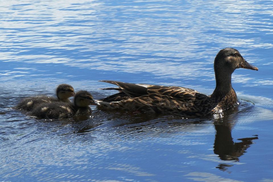 鴨肉や鶏, 若いカルガモの親子, 母鴨, スイミング, 春, 水鳥, 雛, 羽, かわいい, 小さな, 水