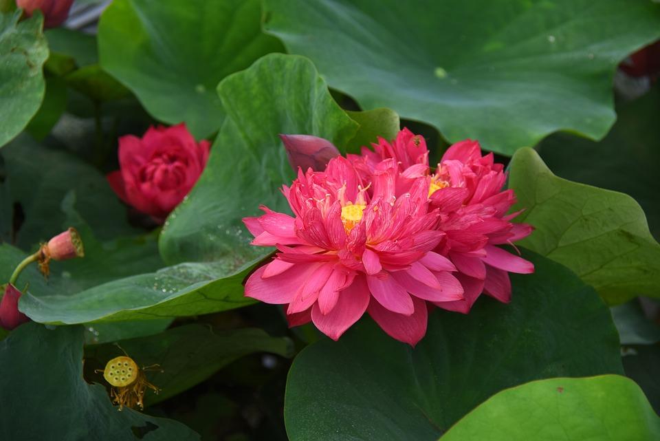 Lotus Flowers, Red, Blooming