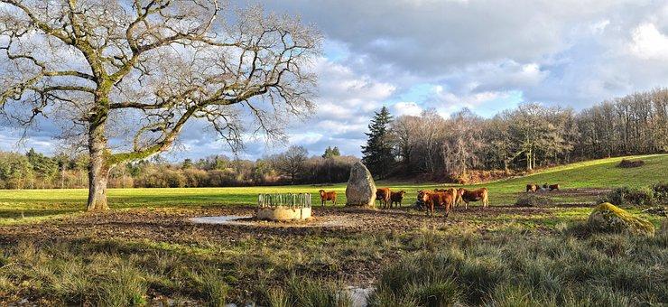 Vacas, Ganado, Campo, Limousin, Francia
