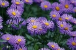 astry, aster tongolensis, fioletowy