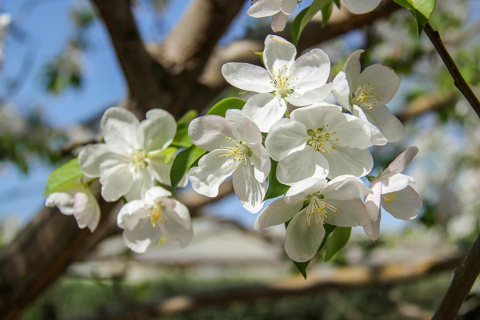 Botany, Flower, Begonia