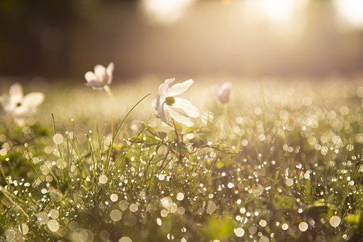 朝, Sip, ウッド アネモネ, 花, 日の出, 光, 春, 春の花, 庭