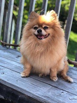 Pomeranian, Dog, Pet, Animal, Cute