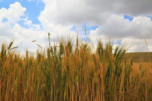 スパイク, 農業, エリア, 小麦, 麦, 工場, 自然, 食品, グリーン
