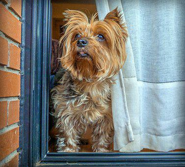 Dog, Yorkshire, Terrier, Small, Pets