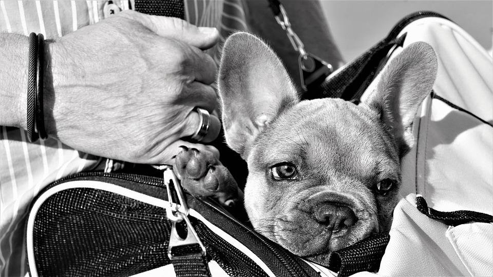 Buldogue Francês, Filhote De Cachorro, Mão, Homem, Saco