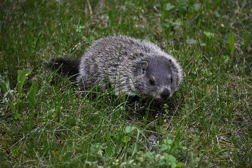 Groundhogs diet