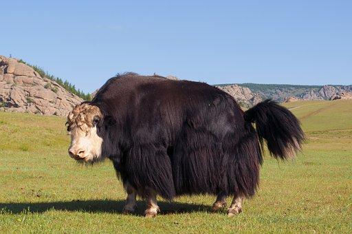 Yak, Montaña, Verano, Pasto, Mongolia