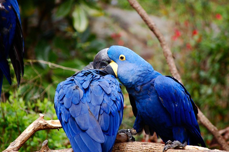 Blu and Jewel-Spix macaws