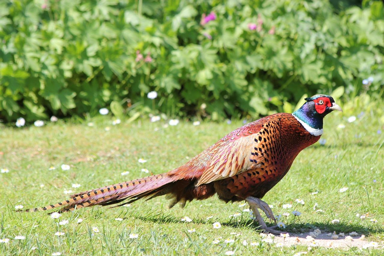 этого все о королевском фазане картинки общую красоту, нитевые