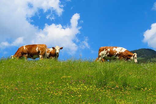 Nature, Landscape, Animal, Cow, Alm