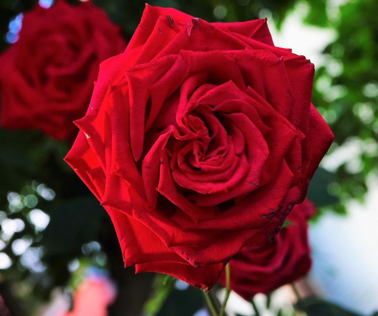 картинки роза фото новый коллекция музыки, песен