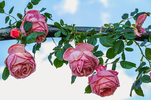 Roses, Flowers, Pink, Romance, Romantic