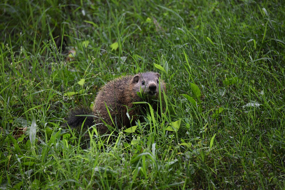 Burrowing wildlife that can destroy your yard