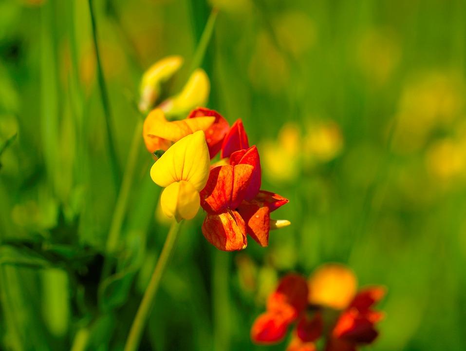 Fenugrec, La Biodiversité, Fleur A, Jaune, Rouge