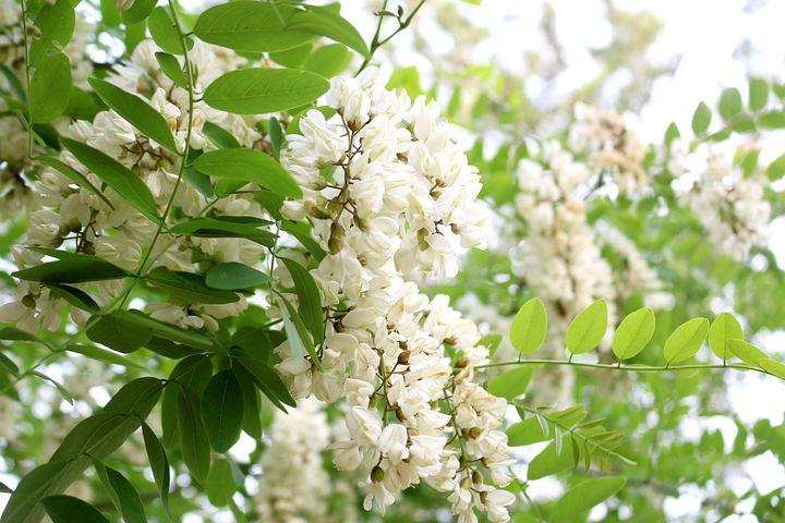 цветы акаций картинки обои
