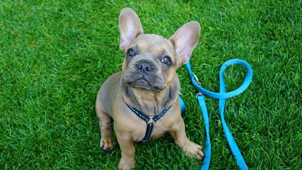 French Bulldog Puppies For Sale in New York, NY