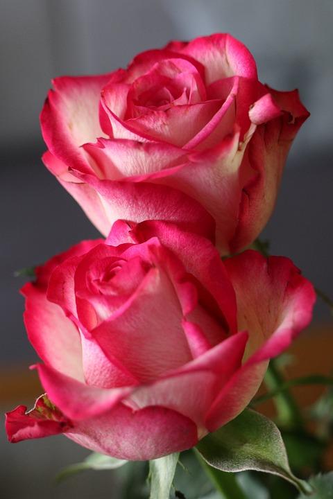 Bunga Mawar Pink Foto Gratis Di Pixabay