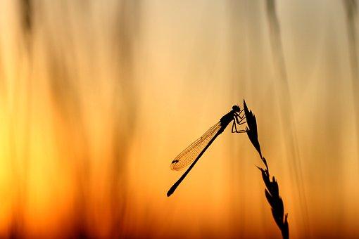 トンボ, バックライト, 夏, マクロ, サンセット, 翼, 飛行昆虫