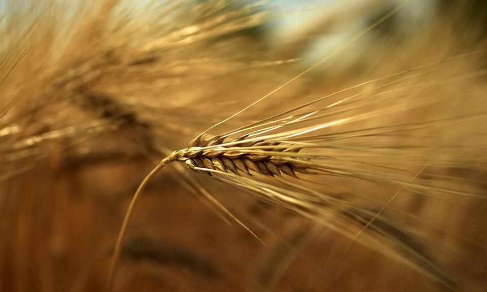 Orzo, Cereali, Grano, Orecchio, Ariste, Erba, Impianto
